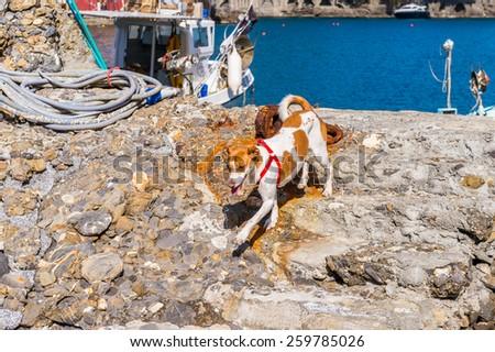 PORTOFINO, ITALY - MAR 7, 2015: Dog runs on the stone in Portofino, Italy. Portofino is a resort famous for its picturesque harbour