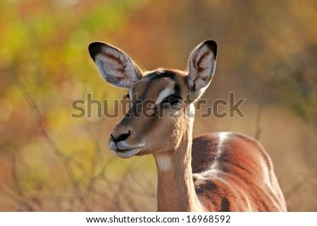 Portrait a female impala antelope (Aepyceros melampus), Kruger National Park, South Africa
