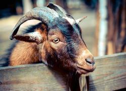 Portrait a goat - horned cloven-hoofed animals on the farm, closeup shot. Pet mammal family.