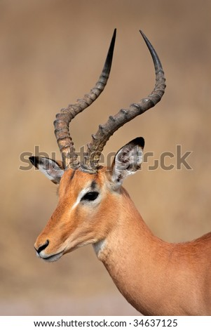 Portrait a male impala antelope (Aepyceros melampus), Kruger National Park, South Africa