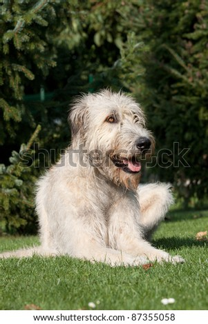 Portrait a nice wolfhound lying in the grass