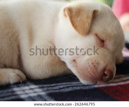 Portrait adorable little puppy, lying with on the table,focus on face