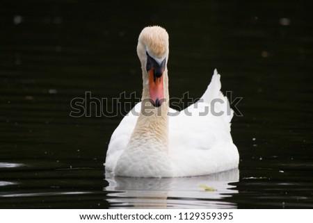portrait adult mute swan, munich, germany, europe. beautiful white brid