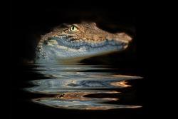 portrait  alligator on the black background