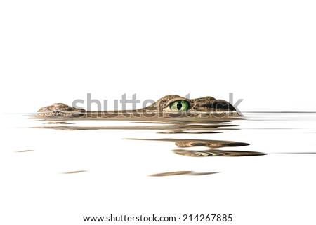 portrait  alligator on the white background