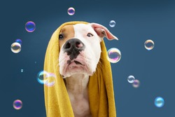Portrait American Staffordshire dog ready to take a a shower wrapped with a yellow towel. Animal on blue colored background with bubbles Puppy summer season