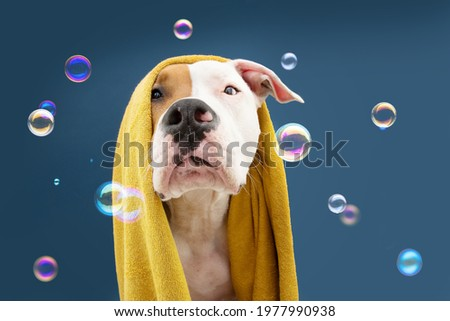 Portrait American Staffordshire dog ready to take a a shower wrapped with a yellow towel. Animal on blue colored background with bubbles Puppy summer season Stock photo ©