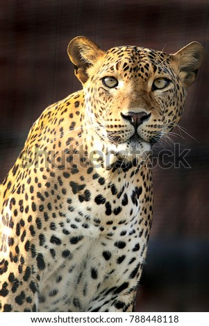 Stock Photo Portrait and the menacing look of a leopard