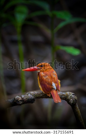Portrait backside of Ruddy kingfisher (Halcyon coromanda) in nature at Ngao Mangrove Research Center, Ranong,Thailan