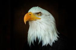 Portrait Bald eagle Haliaeetus leucocephalus on the black background. Photo from animal life.