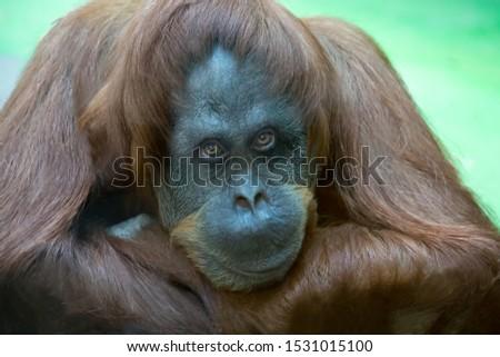 Portrait Bornean orangutan, Pongo pygmaeus, dreamy look. Fauna, mammals, primates, ecology.