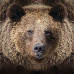 Portrait brown bear in the forest up close. Wildlife scene from spring nature. Wild animal in the natural habitat