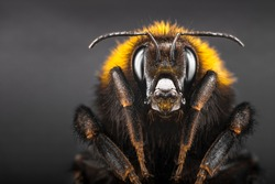 Portrait bumblebee close-up on gray isolated background