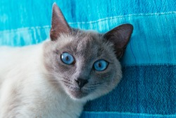 portrait cat with blue eyes on a blue background