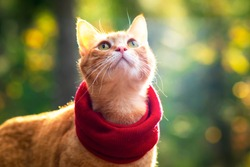 portrait, close-up of a ginger cat in a scarf, in the rays of the sun on a forest background. Outdoors and outside.