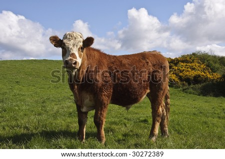 portrait close up of cow in green farm field