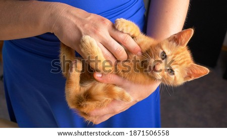 PORTRAIT, CLOSE UP: Orange tabby kitty looks into camera while playfighting in playful young woman's lap. Cute portrait shot of a frisky little baby cat during playtime with its young female owner.