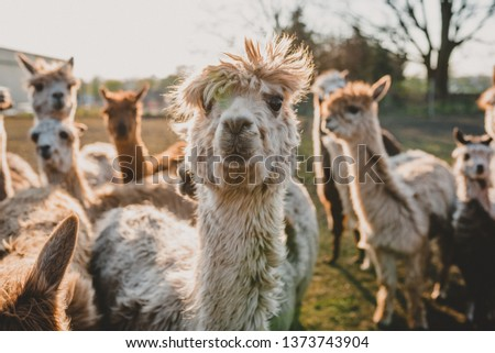 Portrait Closeup of grey suri young alpaca on a green field with sun in the background #1373743904