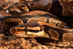 Portrait / closeup of head of the royal python or ball python Python regius (Squamata; Pythonidae) from Africa, a common
