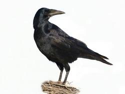 Portrait closeup Rook isolated on a white background Corvus frugilegus