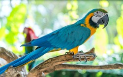 Portrait colorful Macaw parrot on a branch. This is a bird that is domesticated and raised in the home as a friend