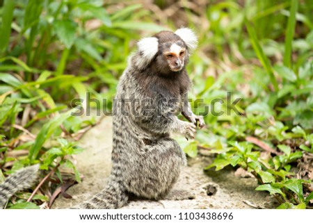 Portrait common marmoset sitting on the stone.