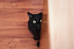 Portrait completely black cat looking at camera on wood background.