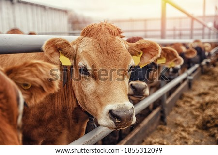 Portrait cows red jersey stand in stall eating hay. Dairy farm livestock industry.