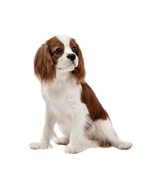 portrait curious pure-bred dog, puppy Cavalier King Charles Spaniel, sit on white background, isolated