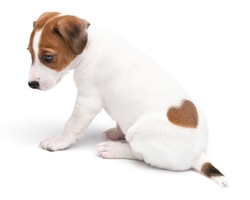 Portrait cute happy puppy dog jack russell terrier isolated on white background. Jack russell with a heart-shaped spot.