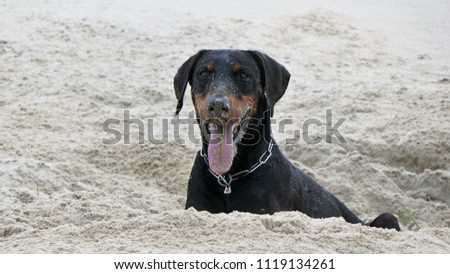 Portrait dirty dobermann digging on the beach #1119134261