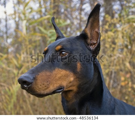 Portrait Doberman Pinscher - stock photo