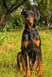 Portrait Doberman puppy dog on a background of green bushes