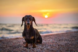 portrait dog breed dachshund, black and tan, against the setting sun on the beach in summer. sunset. dawn.