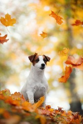 portrait dog Jack Russell Terrier sits in a fabulously beautiful autumn park in red yellow orange autumn leaves, autumn maple leaves fall on top of the dog