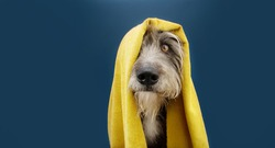 Portrait dog ready to take a a shower wrapped with a yellow towel. Animal on blue colored background. puppy summer season.