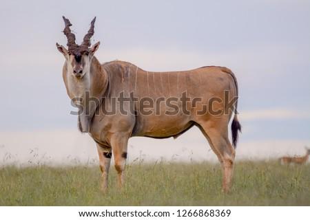 Portrait Eland in Massai Mara #1266868369