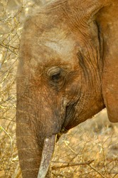 Portrait Elephant in Africa