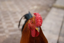 Portrait face side view of brightly colored cockerel. Close up of Rooster, cock. Colorful cock with a beautiful head a close-up. (rooster, Gallus, common cock, barnyard cock)