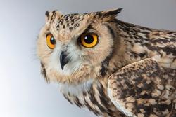 Portrait for Pharaoh Eagle Owl