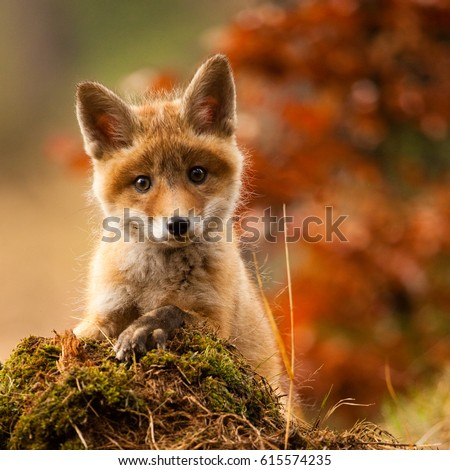 Portrait foxes #615574235