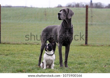 portrait from a french bulldog and a great dane in the garden #1075900166