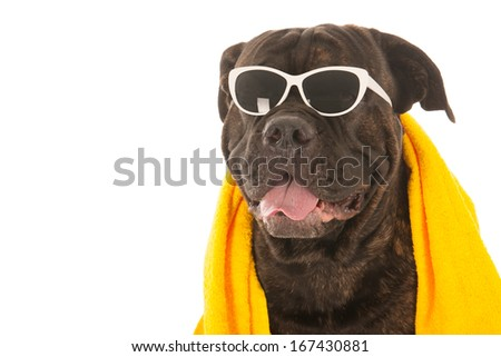 Portrait from dog on vacation with sunglasses and towel