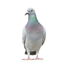 portrait full body of speed racing pigeon bird isolate white background