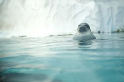 Portrait funny young cute fat animal seal close eyes lazy sleeping relaxing resting lying alone on nature water surface sea with snow frozen iced background.