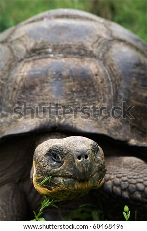 Portrait Galapagos Turtles which eats a grass. A short distance.