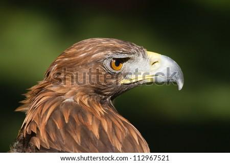 portrait golden eagle close up