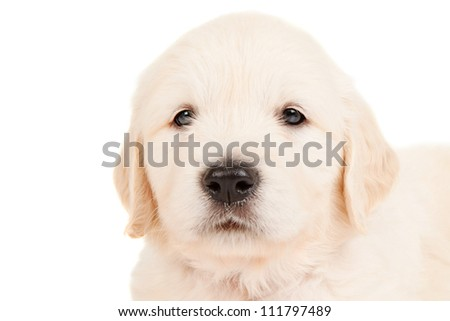 Portrait golden retriever puppy
