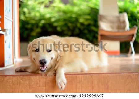 Portrait golden young dog. #1212999667