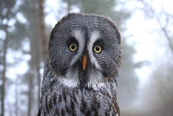portrait great gey owl looking direct into the camera with wide angel and a misty forest in background